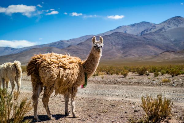 Llama Andes - Rainbow Mountain Tour - Peru Quechuas Lodge Ollantaytambo 600x400